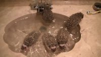Bath time for 9 week old African pygmy hedgehogs