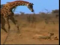 Giraffe kicks and owns and chases the chicken lions