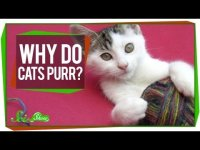Why do cats purr? Educational