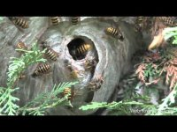 Wasp nest removal, tutorial video