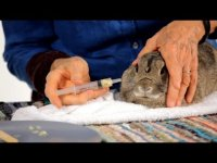 Giving a Rabbit  Pill