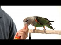 Teach Parrot to Shake Head